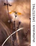 Stock photo closeup of a golden coloured dragonfly on a death plants beautiful golden coloured dragonfly 1461517961