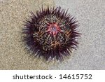Small photo of sea-urchin on sand, Echinoidea