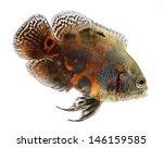 Oscar Fish Isolated On White...