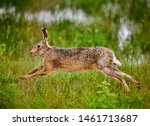 Stock photo european hare lepus europaeus running in a meadow natural habitat image 1461713687