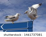 Stock photo two european herring gulls against a blue sky with clouds copy space for write european herring 1461737081