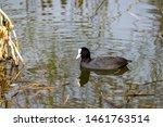 Coot  Fulica Atra  Wild Duck On ...