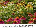 Coneflowers  echinacea  in many ...