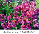 Pink coneflowers and pink...