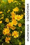 yellow flower of dahlberg daisy ... | Shutterstock . vector #1462041464