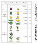 mendel genetic concept crossing ... | Shutterstock .eps vector #1462068644