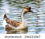 Swan Goose  Aves Class  Species ...