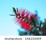 Red Bottle Brush Flower  ...