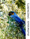 Blue Macaw Parrot On A Branch...