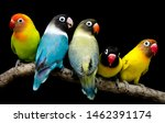 Lovebird Parrot There Are...
