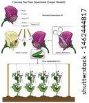 Mendel Genetic Concept Crossin...