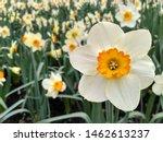 Narcissus Poeticus  Poet's...