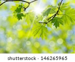 green leaves on the green... | Shutterstock . vector #146265965