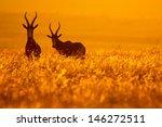 bontebok pair standing in... | Shutterstock . vector #146272511