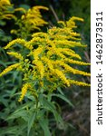 Small photo of Close up of the blooming yellow inflorescence of Solidago canadensis, known as Canada goldenrod or Canadian goldenrod.