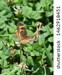 A Worn Silvery Checkerspot...