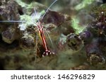 Lysmata Amboinensis  Scarlet...