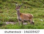 roe deer  scotland | Shutterstock . vector #146335427