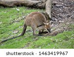 The Swamp Wallaby Is Grazing O...