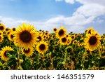 sunflower in field | Shutterstock . vector #146351579