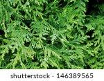 Green Background  Arborvitae I...