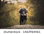 Stock photo flat coated retriever puppy dog in action cute black puppy 1463964461