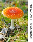 Small photo of a macro closeup of an orange Grisette - Amanita crocea parasol fly agaric fungus mushroom growing in green grass background iconic toadstool species