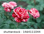 Stock photo red and white rose flower bloom on a background of blurry red roses in a roses garden 1464111044