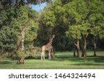 Stock photo beautiful giraffe giraffa camelopardalis in aberdare country club 1464324494