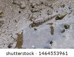 Silver Lined Mudskipper  Barre...