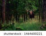 Big Male Bull Moose  Alces...