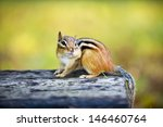 Cute Wild Chipmunk With One...