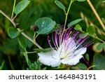 Small photo of Close up on flowers of caper shrub (capparis spinosa). Purple and white flowers of caperous spiny. Capparis spinosa, the caper bush, also called Flinders rose. Exotic flowers.