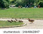 Mother Duck With Ducklings ...