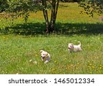 Stock photo two berger blanc suisse puppies running through a flowery meadow a tree in the middle yellow 1465012334
