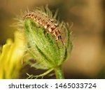Green Lacewing  Chrysoperla...