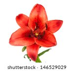 Red Tiger Lily Isolated On...