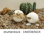 Stock photo  cute portrait of baby tortoise hatching africa spurred tortoise birth of new life closeup of 1465365614