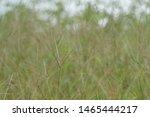 Digitaria Sanguinalis Is Known...
