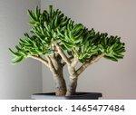 crassula ovata gollum. bonsai...   Shutterstock . vector #1465477484