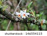Dendrobium Christyanum  Wild...