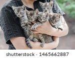Bunch Of Tabby Kittens In...