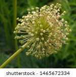 Allium Flower Heads Going To...
