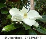 Magnolia Grandiflora Aka...