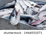 Red Salmon Caught By Commercial ...