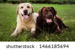 Cute Labrador Retriever Dogs On ...
