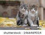 Stock photo two small grey kitten with white paws sitting on the pavement in autumn with the yellow leaves 1466469014