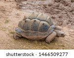 Stock photo aldabra giant tortoise aldabrachelys gigantea from the islands of the aldabra atoll in the 1466509277