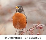 Frontal View Of American Robin...