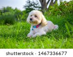 Stock photo the dog sleep at the view looking up brown cute poodle puppy sitting on ground cute white poodle 1467336677